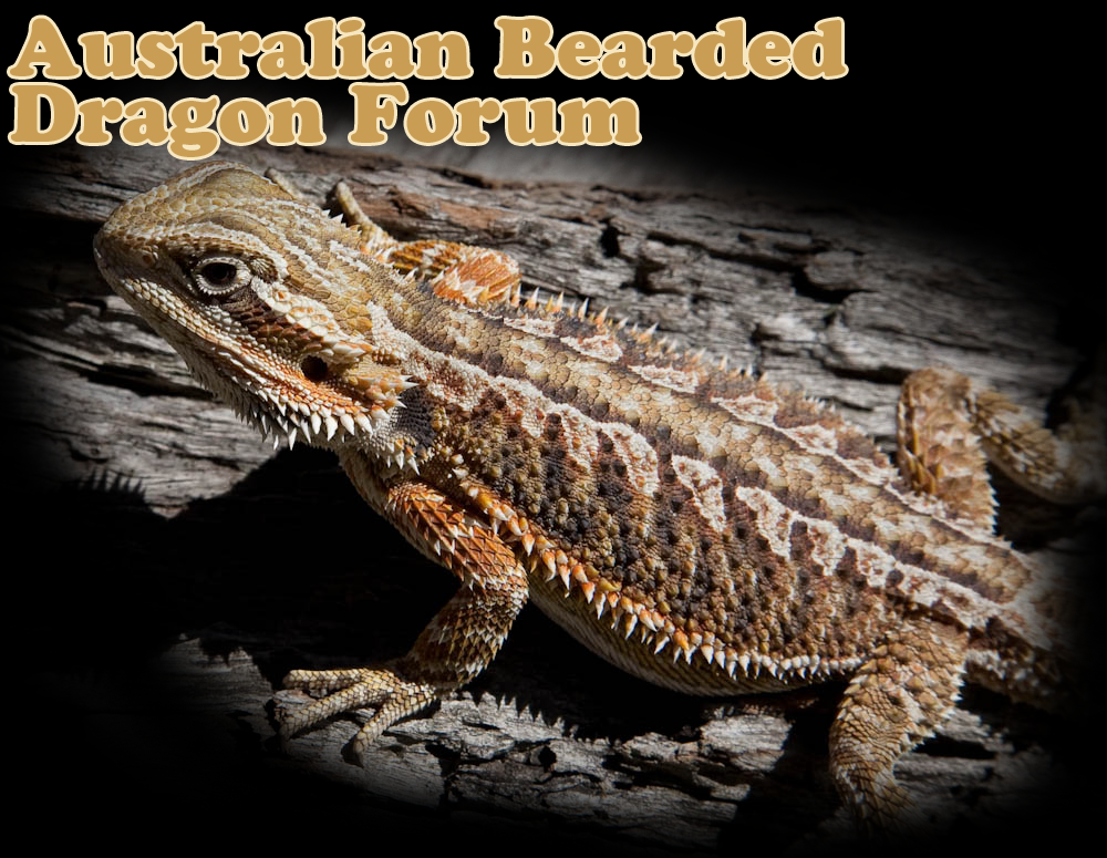 Australian Bearded Dragon Spalsh image